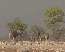 Common eland in the savannah Stock Footage