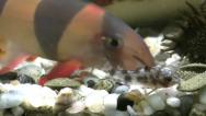 Stock Video Footage of Aquarium with colorfull fishes and a botia