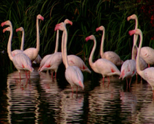 Flamingos standing, walking and wading in water Stock Footage