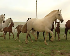 Herd of PRE Horses running and playing in a field Stock Footage