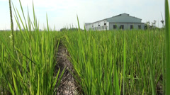 Walk through the paddy Stock Footage