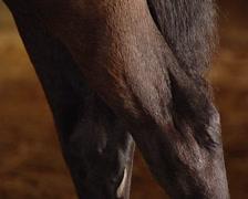 Man brushing Pure Spanish Horse. Stock Footage