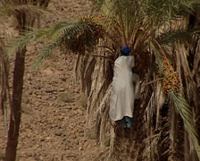Berber man picking up and eating Dates Stock Footage