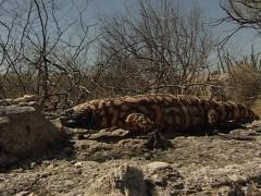 Gila monster in the Sonoran desert Stock Footage