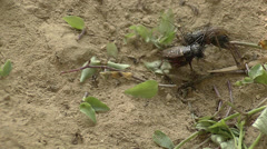 Crickets fighting in the wildlife Stock Footage