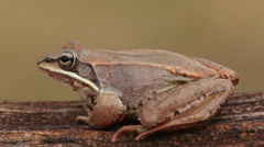 Wood Frog (Rana sylvatica) on a log Stock Footage