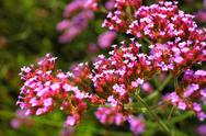 Stock Photo of pink flowers in the garden shined at sun