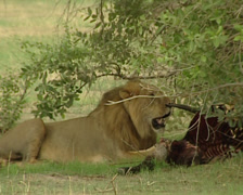 Lion eating prey Stock Footage