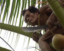 Mentawai picking up coconut Stock Footage
