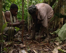 Pygmies making a snare Stock Footage