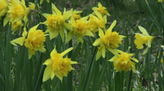 Double flower yellow spring Daffodils Stock Footage