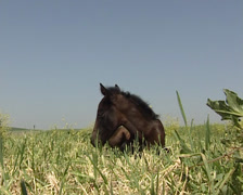 Pure Spanish Horse mare and her colt in the field Stock Footage