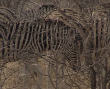 Zebra in the savannah Stock Footage