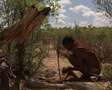 Bushmen looking for roots in the Kalahari Desert Stock Footage
