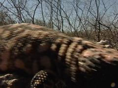 Gila monster Stock Footage