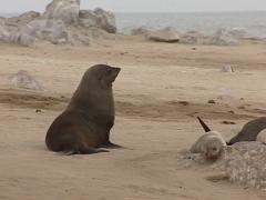 Seals in Namibia Skeleton Coast National Park Stock Footage