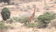 Stock Video Footage of Giraffe in the savanna