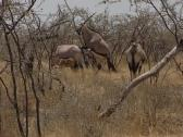 Stock Video Footage of East African Oryx or Oryx beisa, in savannah