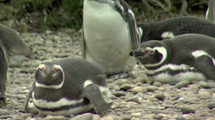 Magellanic penguin colony with hard wind Stock Footage