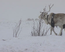 Nenets moving his camp to another place. Reindeers pulling the sled Stock Footage