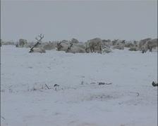 Reindeer In Snow Eating - stock footage