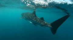 Whale shark swimming underwater Stock Footage