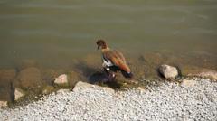 Egyption Goose (Alopochen aegyptiacus) - stock footage