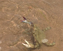Native Seri hunt and cook crabs and oysters in Tiburon island Stock Footage