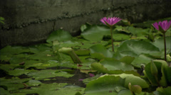 Nelumbo nucifera. Pond and loto flower Stock Footage
