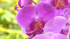 Purple orchids in Taiwan Stock Footage