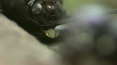 Stock Video Footage of Crickets copulating
