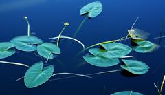 Lillypads In Water - stock photo