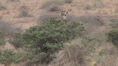 Stock Video Footage of Giraffe in the savanna