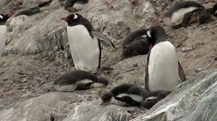 Gentoo Penguin colony - stock footage