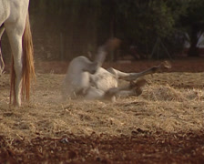 Pure Spanish Horse is rolling in the hay Stock Footage