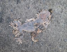 dead body of gecko - stock photo