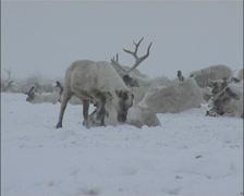Reindeer In Snow Eating Stock Footage