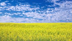4k motorized dolly timelapse video of canola field Stock Footage