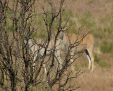 Tracking long shot from right to left of Eland obscured by trees and bushes Stock Footage