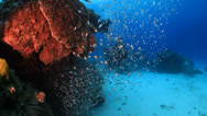 Stock Video Footage of Diver swimming through school of fish