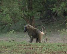 African Baboon/ Baboons/ Zakuma Stock Footage