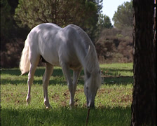 White Pure Spanish Horse galloping Stock Footage