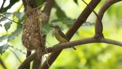 Olive-backed Sunbird - stock footage