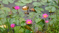 Purple waterlily flowers in the pond Stock Footage