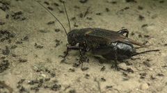 Crickets in the wildlife Stock Footage