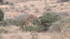 Giraffe in the savanna Stock Footage