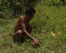 Mentawai cutting coconut Stock Footage
