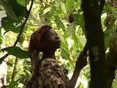 Stock Video Footage of Pygmy tribe in Africa working harvesting cocoa, Cacao fruits on the tree