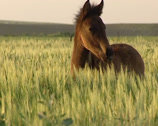 Stock Video Footage of Andalusian horse foal, colt on meadow