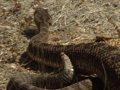 Crotalus Durissus Stock Footage